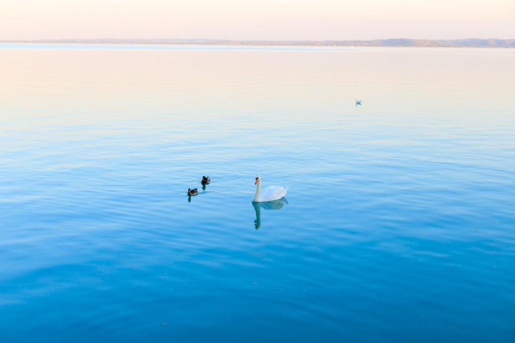 Swans Balaton Picture
